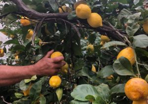 Alle citroenen voor Limontino worden zorgvildig met de hand geplukt