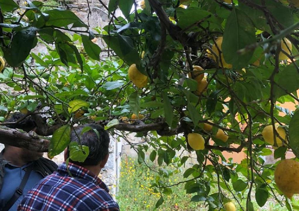 Citroenplukkers selecteren in Sardinië de rijpe citroenen voor Limontino