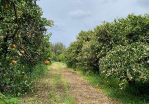 In de boomgaarden in Sardinië groeien de citroenen en sinaasapppelen voor Sardinia Products