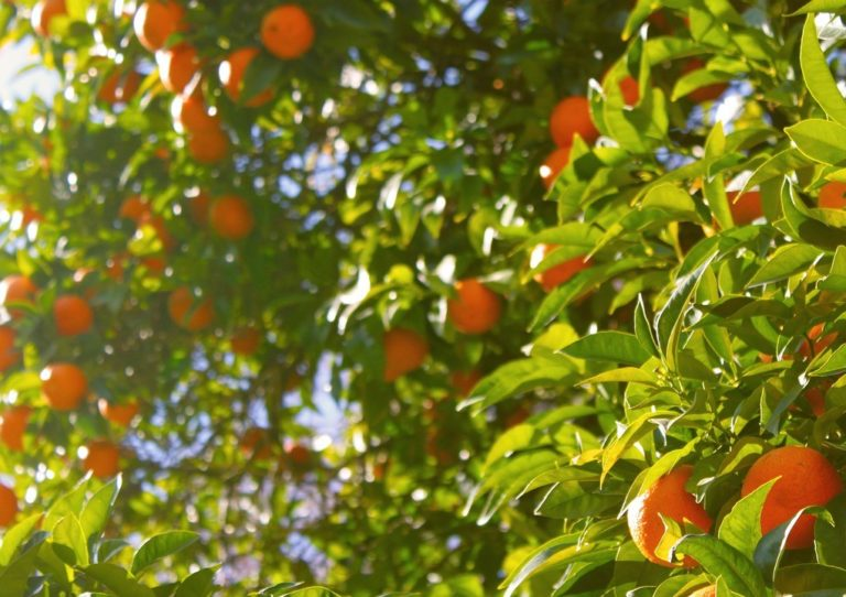 In Sardegna groeien de heerlijke sinaasappelen voor AranTino